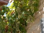 Wine grapes covering the pergola on the dining terrace.