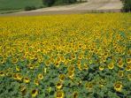 Local field of sunflowers