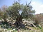 Ancient Cyprus Olive Trees