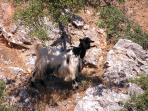 Local wildlife: mountain goats