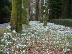 Snowdrops cover the ground in February & March