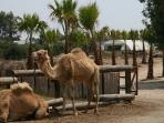 Why not try a camel ride at the Camel Park near Oriklini
