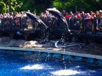 Dolphin Show Vancouver Aquarium 30 min.