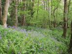 Guests can explore our 5 acres of land, inc this woodland which is carpeted with bluebells in Spring
