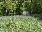 Bluebells above the gorge