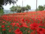 Poppy Field In July