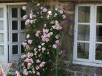 Scented Rose at the Door (Albertine Rambling Rose)