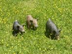 pigs around the farm