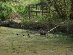 See the moorhen with her chicks and nest of sticks.