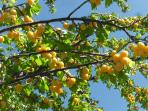Dozens of fruit trees for you to feast on. These are Mirabelle, tiny plums and very tasty