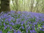Bluebells in Dines Wood beside barn