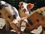 Woodland Pigs