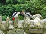 A pair of woodpeckers sharing a worm on Gospenheale Barn garden wall,  Photo taken by a guest