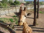 Giraffes at Terra Natura