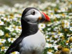 Puffins can be seen nesting on Skomer Island and along the coastline