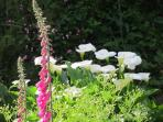 Arum lillies and foxgloves in the back garden