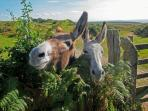 Two cheeky donkeys on a walk near Vauville