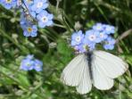 White cabbage butterfly taking nectar from some forget me knots in the garden