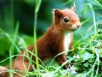 The Red Squirrel - a frequently spotted resident of the Argyll Forest Park