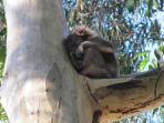 Resident Koala