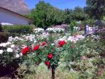 Rose Garden at Rose Cottage