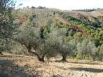 Olive trees in the village