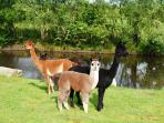 Our Alpacas posing for the camera