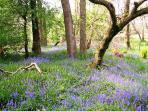 Bluebell Wood at Island Clump by Rashfield