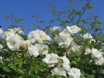 Der Juni ist der Rosenmonat der ganzen Region