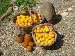 apricot harvest