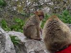 monkeys at nearby Gibraltar