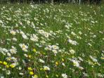 Wild flowers in the meadows