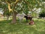 Siesta under the walnut tree, in the paddock