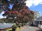 Our street 'The Strand' lined with NZ 'christmas trees' The brilliant crimson Po