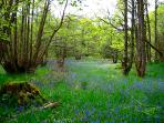 Bluebells in Craggantoul forest