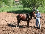 Still Ploughing With Horses In The Valley