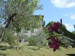 The olive grove behind the house