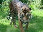 Tiger at Chester Zoo!