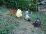 Our own free ranging hens provide our eggs in the welcome pack
