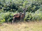 Red deer & calf
