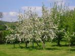 The orchard in spring - help yourself to apples and pears in the autumn