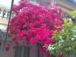 Bougainvillier lors de la floraison