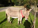 Barney the donkey