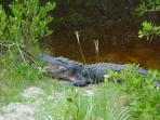 Alligator (Ding Darling Preserve, Sannibel)
