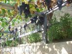 Grape pergola - September time