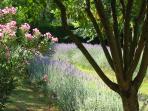 Lavander blossoming in the garden