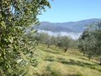 Olive trees in the mist