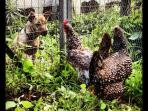 Our dog Frida looking to the chickens Casta and Diva