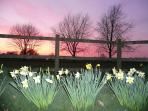 Sunset and daffodils from the terrace