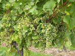 Omnipresent vine